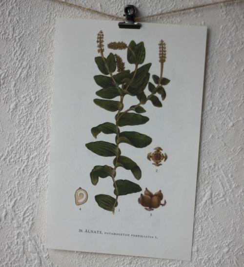Florabild - Ålnate