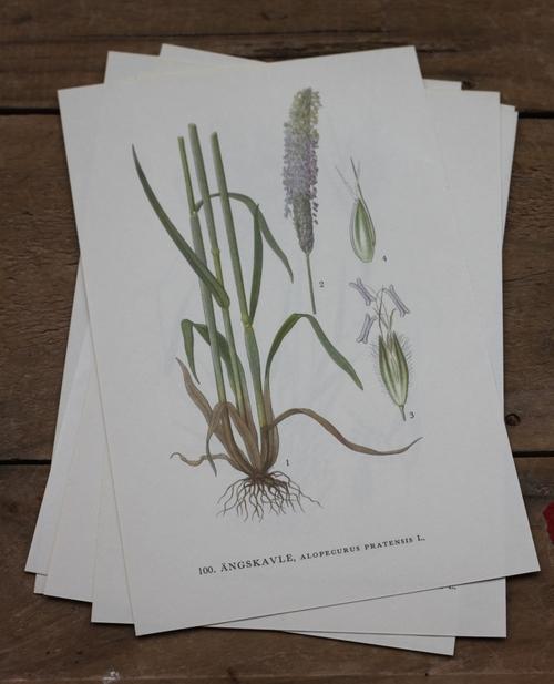 Florabild - Ängskavle