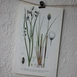 Florabild - Ängsull, Tovull