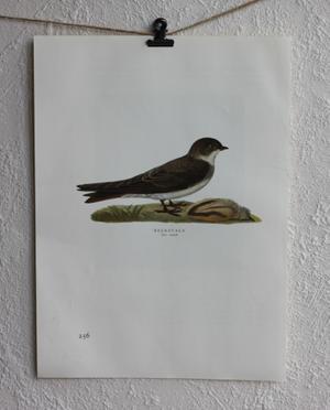 Fågelbild - Backsvala