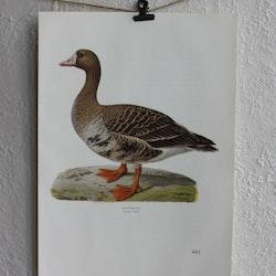 Fågelbild - Bläsgås