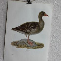 Fågelbild - Grågås