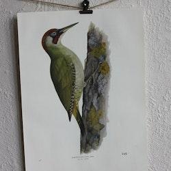 Fågelbild - Gröngöling