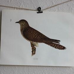 Fågelbild - Gök