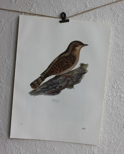 Fågelbild - Göktyta