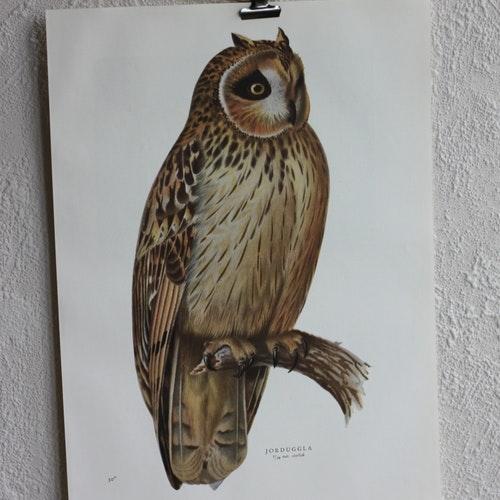 Fågelbild - Jorduggla