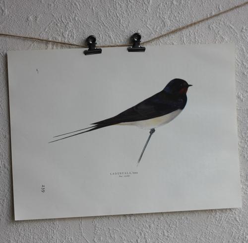 Fågelbild - Ladusvala