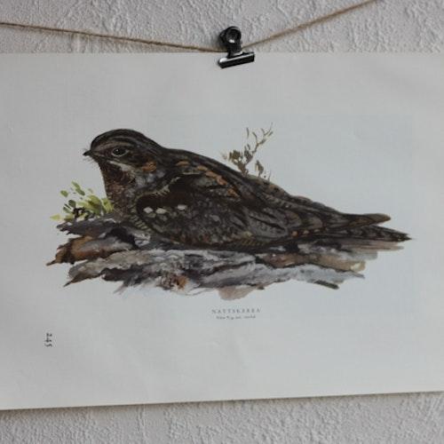 Fågelbild - Nattskära