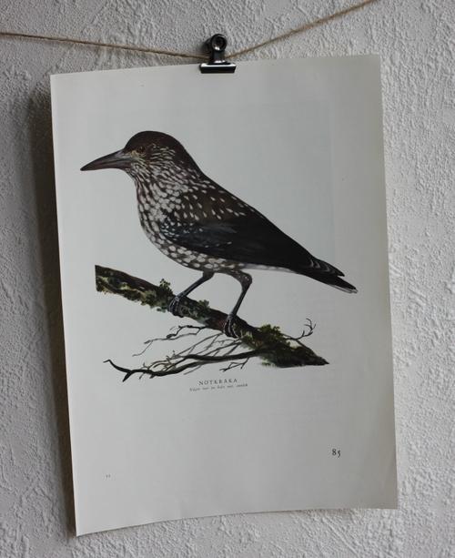 Fågelbild - Nötkråka