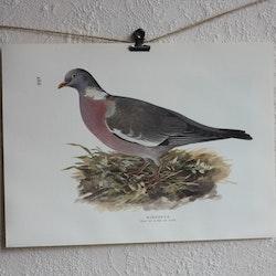 Fågelbild - Ringduva