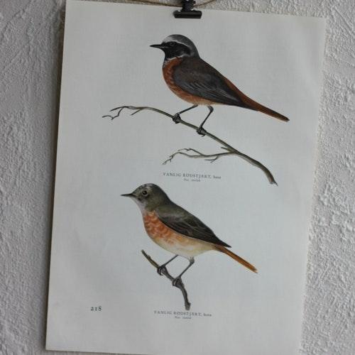 Fågelbild - Rödstjärt
