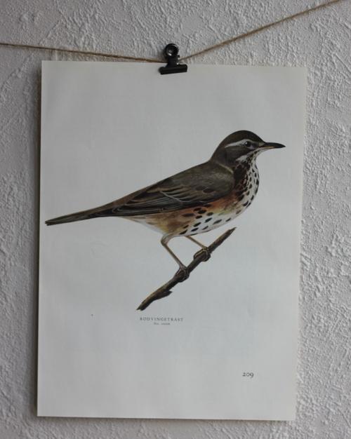 Fågelbild - Rödvingetrast