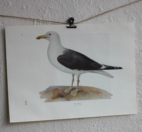 Fågelbild - Sillmås