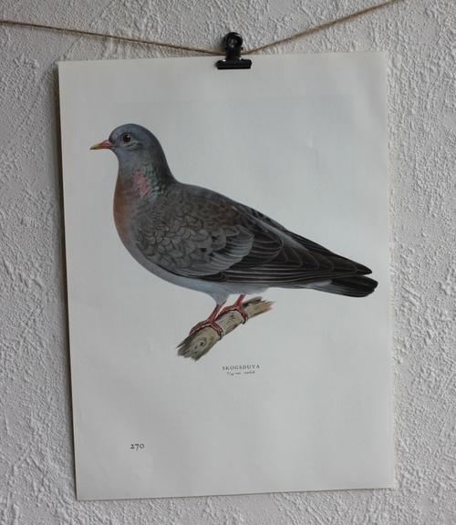 Fågelbild - Skogsduva