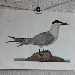 Fågelbild - Skräntärna