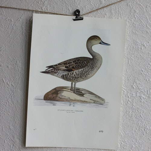 Fågelbild - Stjärtand