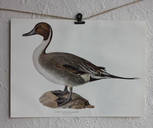 Fågelbild - Stjärtand i paraddräkt