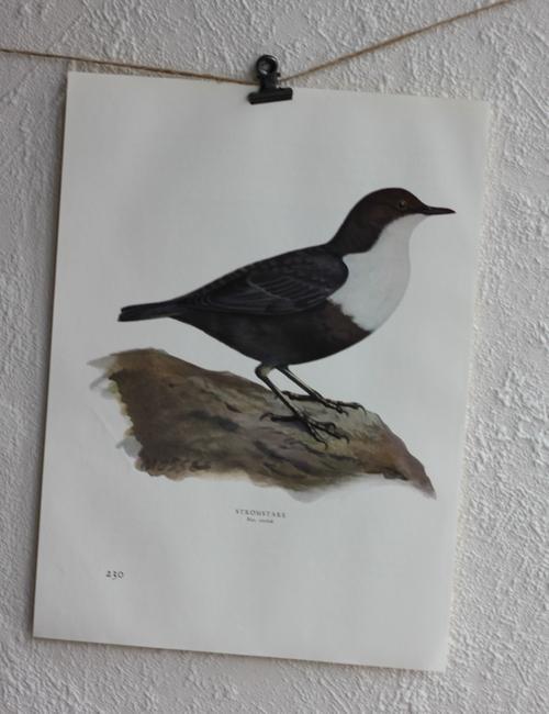 Fågelbild - Strömstare
