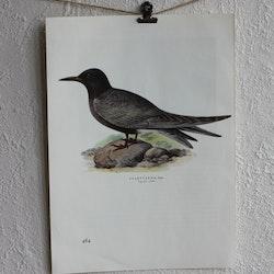 Fågelbild - Svarttärna