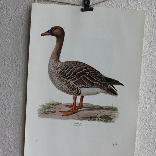 Fågelbilder - Sädgås
