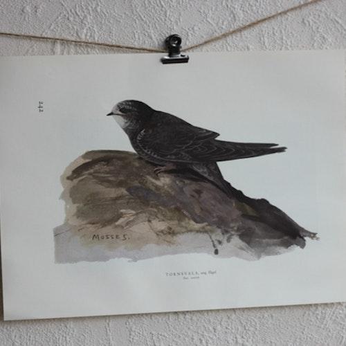 Fågelbilder - Tornsvala