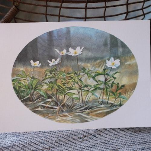 Flora Plansch - Vitsippa