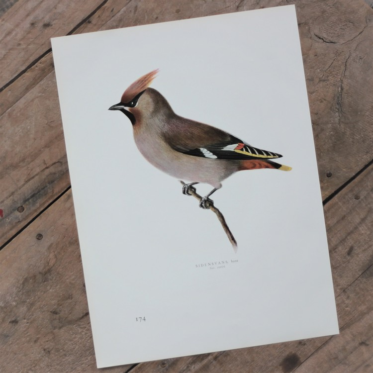 Fågelbild - Sidensvans