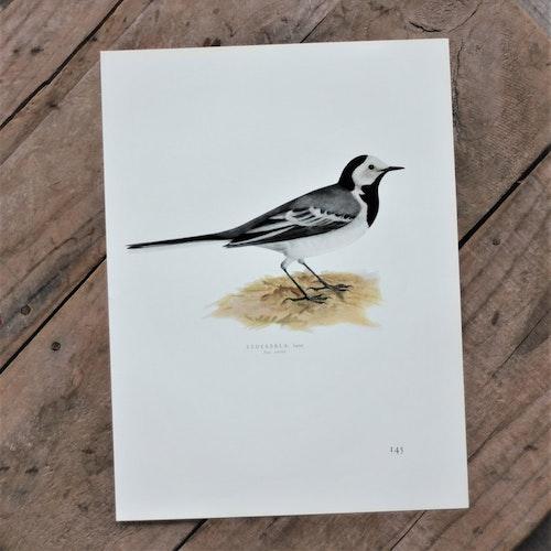 Fågelbild - Sädesärla