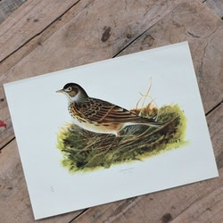 Fågelbild - Sånglärka