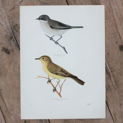 Fågelbild - Ärtsångare Bastardnäktergal