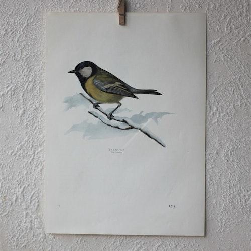 Fågelbild - Talgoxe