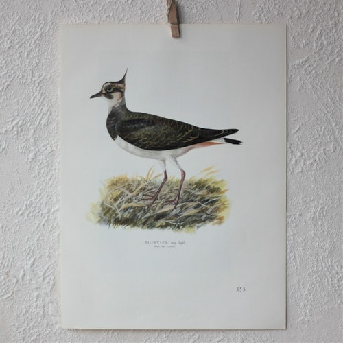 Fågelbild - Tofsvipa
