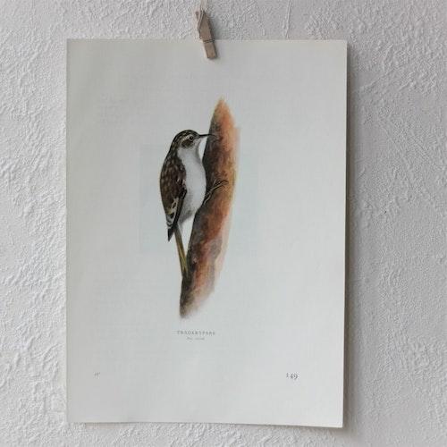 Fågelbild - Trädkrypare