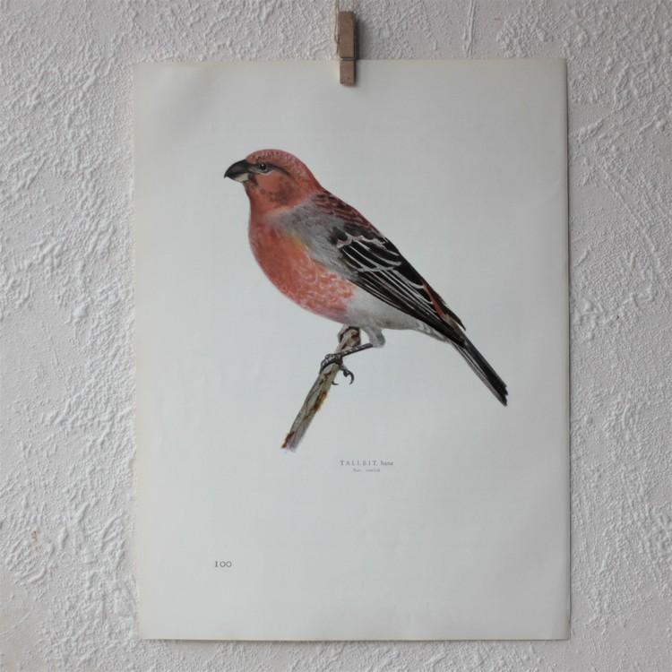 Fågelbild - Tallbit