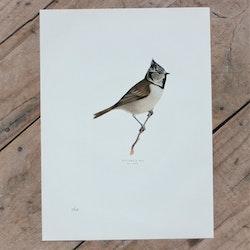 Fågelbild - Tofsmes