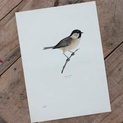 Fågelbild - Talltita