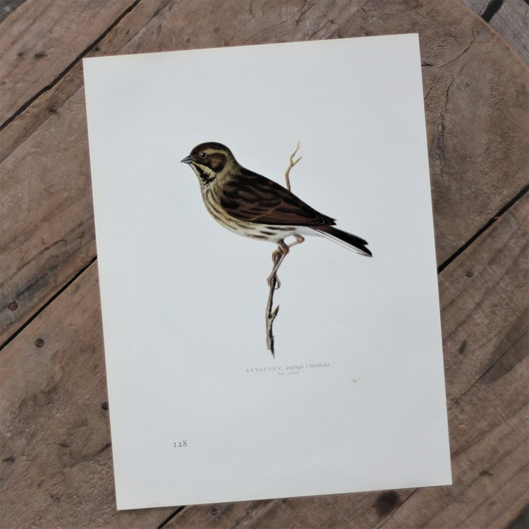 Fågelbild - Sävsparv
