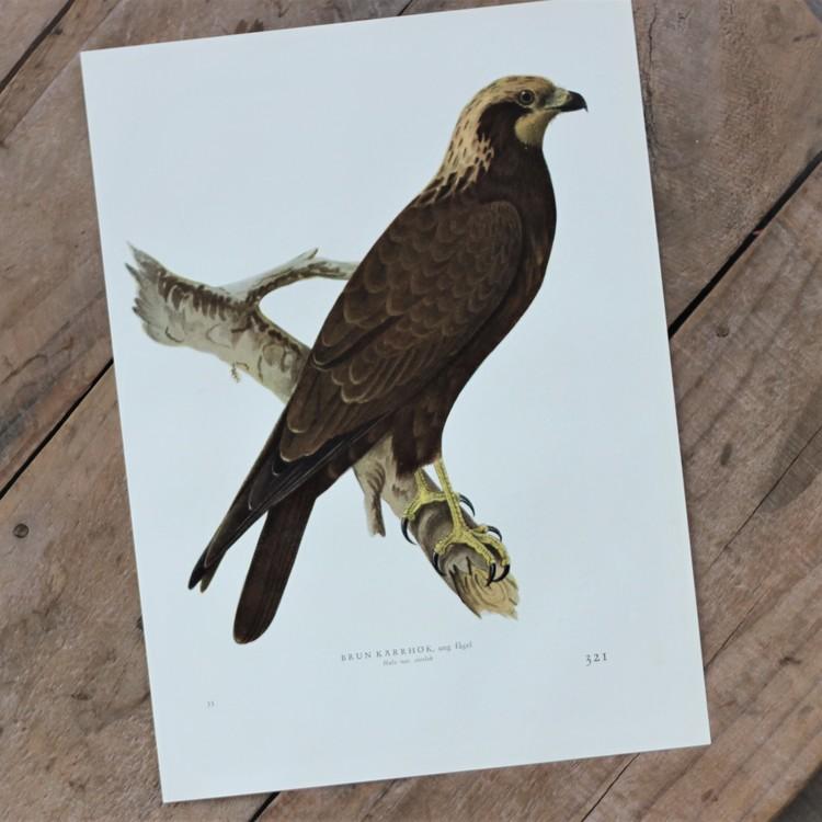 Fågelbild - Brun Kärrhök