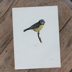 Fågelbild - Blåmes