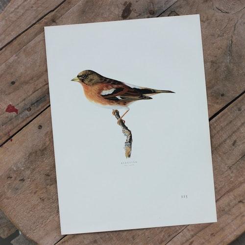 Fågelbild - Bergfink