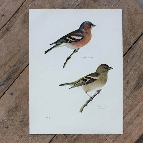 Fågelbild - Bofink