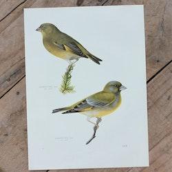 Fågelbild - Grönfink