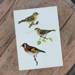 Fågelbild - Grönsiska Steglitsa