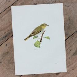 Fågelbild - Grönsångare