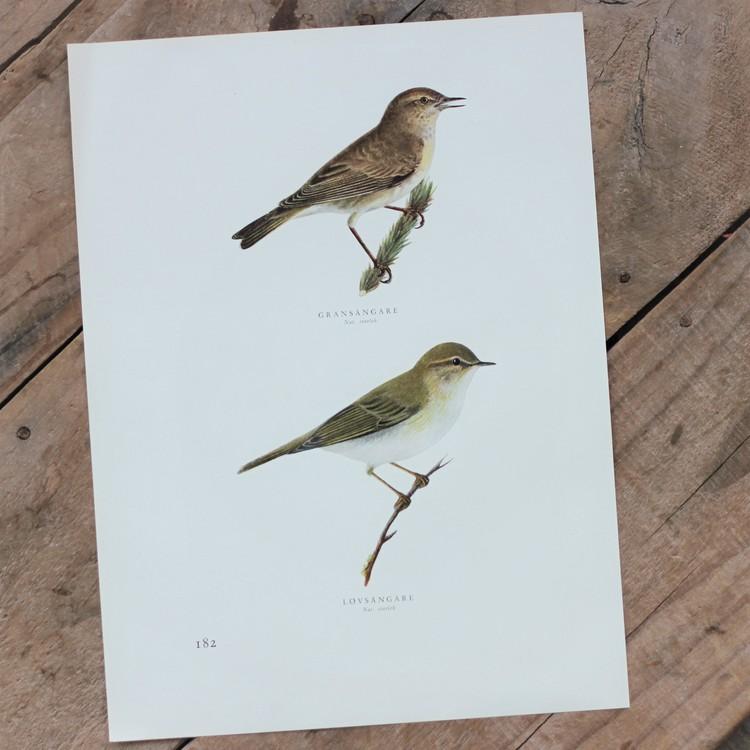 Fågelbild - Gransångare Lövsångare