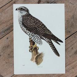Fågelbild - Jaktfalk