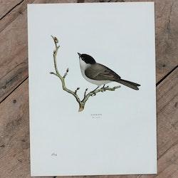 Fågelbild - Kärrmes
