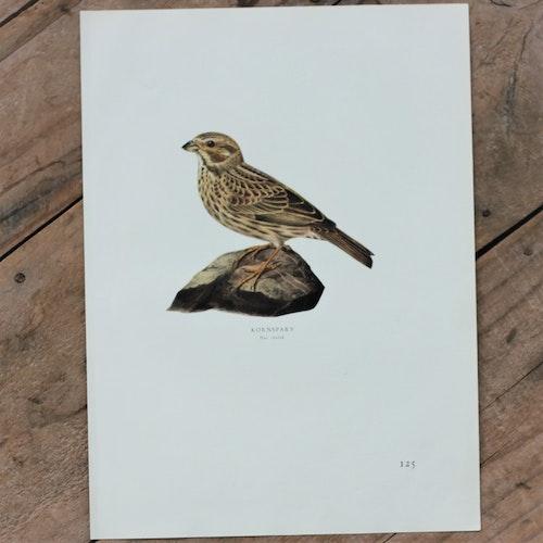 Fågelbild - Kornsparv