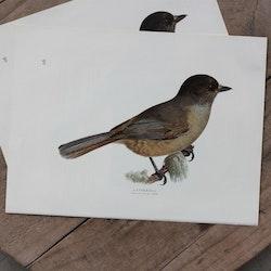 Fågelbild - Lavskrika