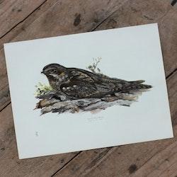Fågelbild - Nattskärra